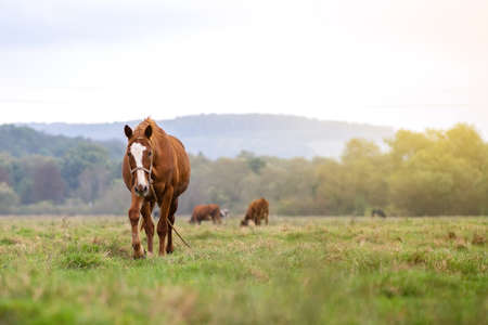 Beautiful chestnut horse grazing in summer field. Green pasture with feeding farm stallion.