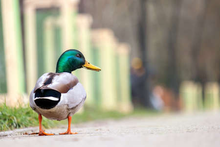 Male duck with green head walking in summer park. Imagens