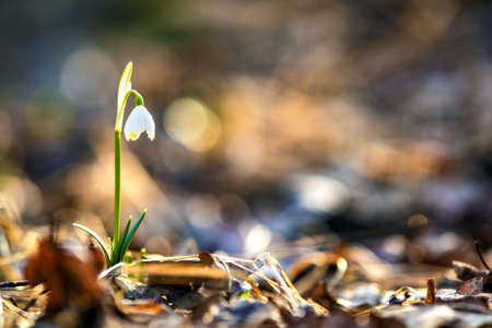 Close up view of small fresh snowdrops flowers growing among dry leaves in forest. First spring plants in woods.