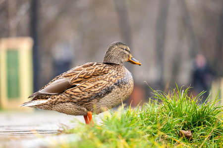 One gray wild duck walking in summer park. Imagens