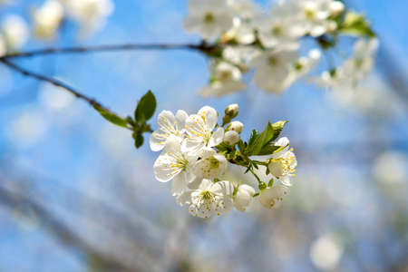 Close up of fresh white blooming flowers on a tree branches with blurred blue sky background in early spring.
