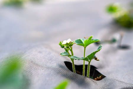 Closeup of small green strawberry plants with white flowers growing outdoors in summer garden. 免版税图像