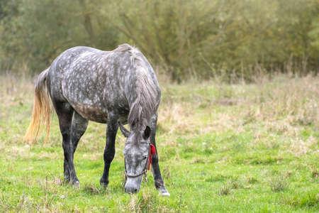 Beautiful gray horse grazing in green grassland summer field.