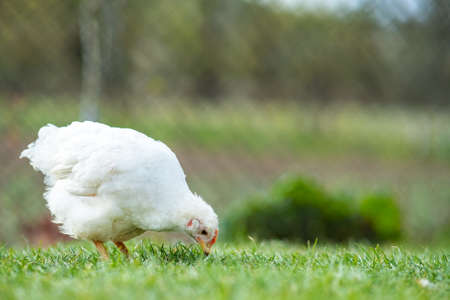 Hen feed on traditional rural barnyard. Close up of chicken standing on barn yard with green grass. Free range poultry farming concept.