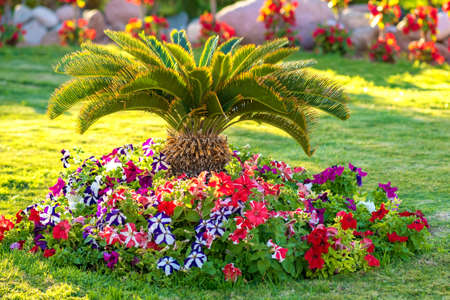 Small green palm tree surrounded with bright blooming flowers growing on grass covered lawn in tropic hotel yard.
