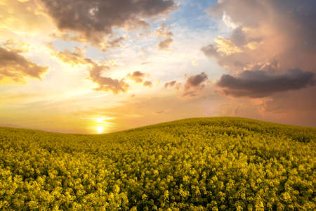 Landscape with blooming yellow rapeseed agricultural field and blue clear sky in spring.