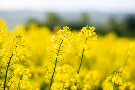 Close up detail of blooming yellow rapeseed plants in agricultural farm field in spring.