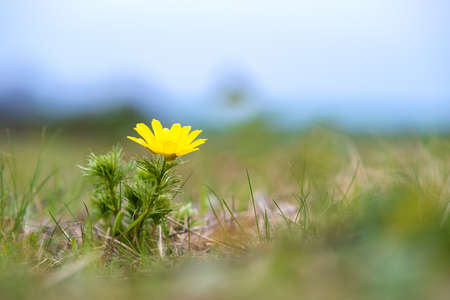 Close up of small yellow wild flower blooming in green spring field.