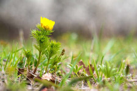 Close up of small yellow wild flower blooming in green spring field. Reklamní fotografie