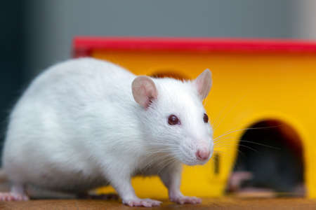 White funny domestic pet rat near yellow plastic toy house. Reklamní fotografie