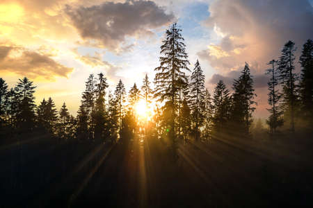 Aerial view of dark green pine trees in spruce forest with sunrise rays shining through branches in foggy autumn mountains. Standard-Bild