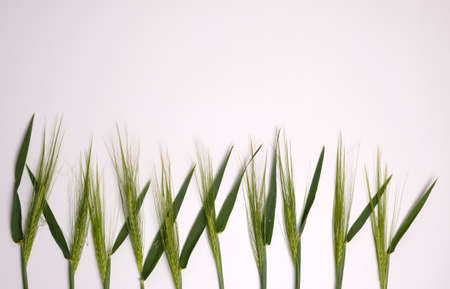 Green fresh wheat heads on white copy space background.