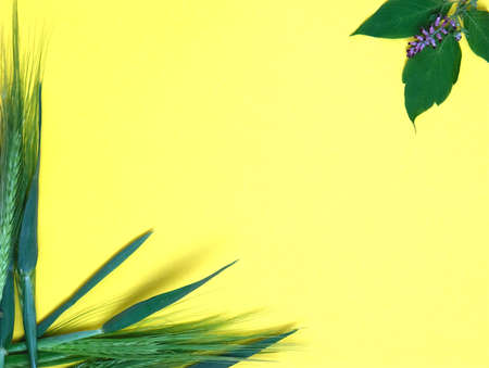 Green fresh wheat heads and plant leaves on yellow copy space background. 版權商用圖片
