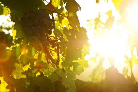 Grapes on the Vine in Backlight