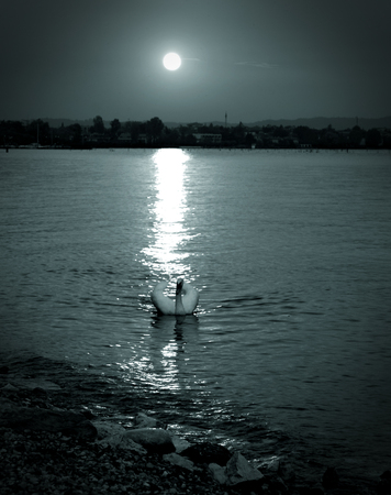 horizon over water: swan floating in the lake at night