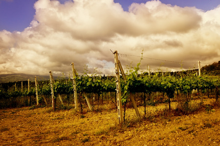 vineyard with sky background