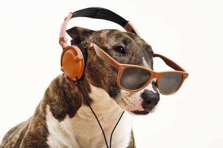 miniature breed: Bull terrier miniatura es escuchar m�sica
