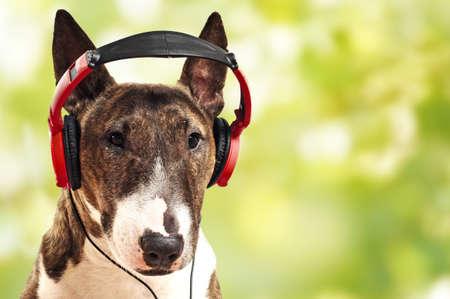 terrier: Miniature Bull Terrier is listening to music