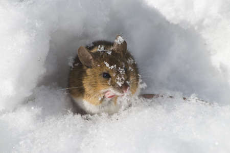 forage: A mouse on the forage for food in winter Stock Photo