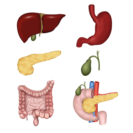 Digestive organs isolated on white background vector illustration