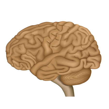 Human brain medical vector illustration isolated on white background