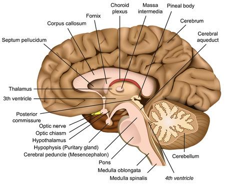 Ilustración de vector 3d de anatomía del cerebro humano sobre fondo blanco