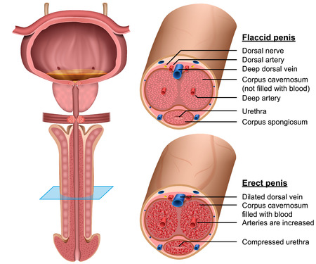 penis anatomy cross section medical 3d vector illustration
