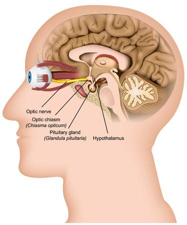 Optic nerve anatomy 3d medical vector illustration on white background