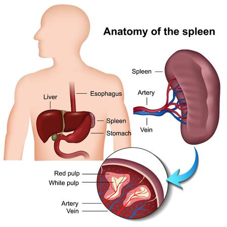 spleen anatomy 3d medical vector illustration Illustration