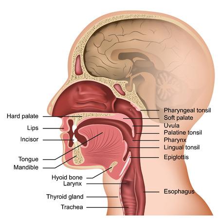 Anatomie der medizinischen Vektorillustration des Mundes und der Zunge auf weißem Hintergrund Vektorgrafik