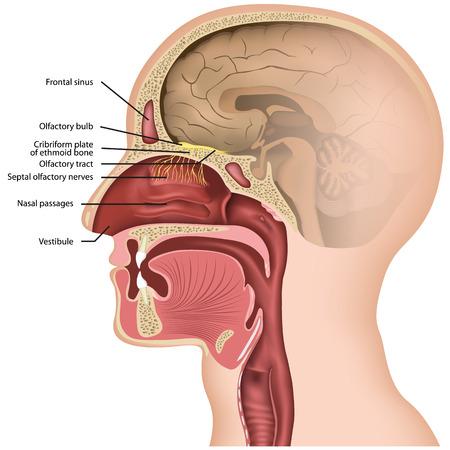 Olfactory nerve medical vector illustraton on white background Stock Illustratie