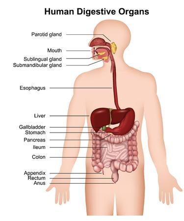 Apparato digerente umano con descrizione illustrazione vettoriale medica 3d