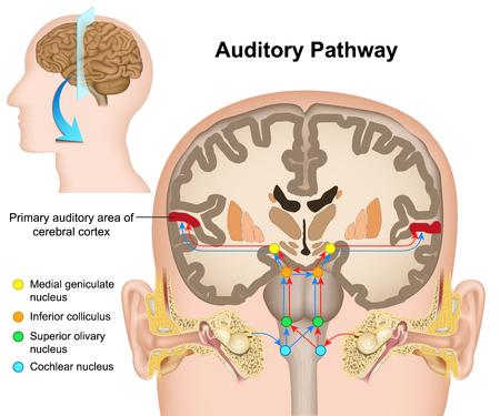 La ilustración de vector médico de la vía auditiva sobre fondo blanco