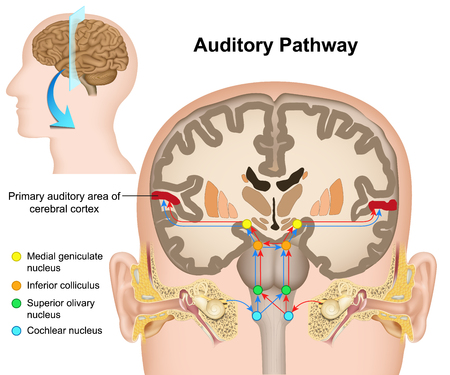The auditory pathway medical vector illustration on white background