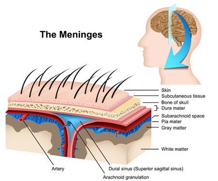 Meninges medical 3d vector illustration on white background