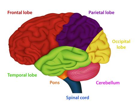 Áreas del cerebro humano, ilustración vectorial médica sobre fondo blanco.