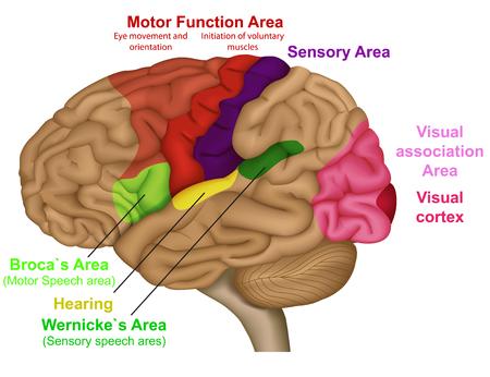 Medizinische Vektorillustration der funktionellen Gehirnbereiche auf weißem Hintergrund