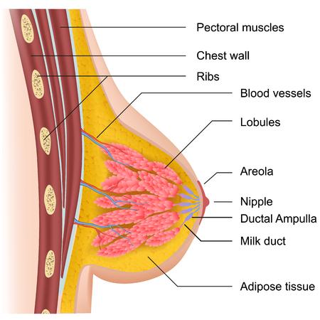 Female breast anatomy medical vector illustration on white background Illustration