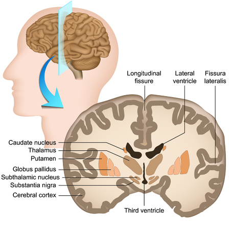 Coronal section of the human brain medical vector illustration