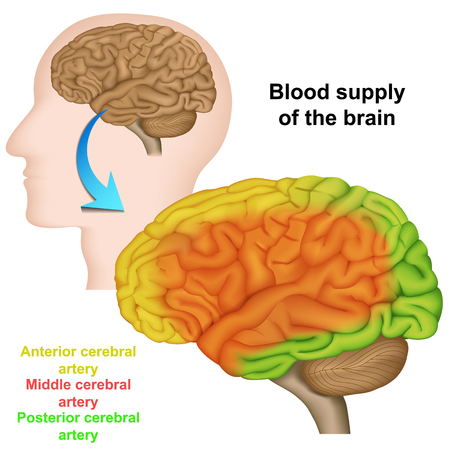 blood supply of the human brain, medical vector illustration