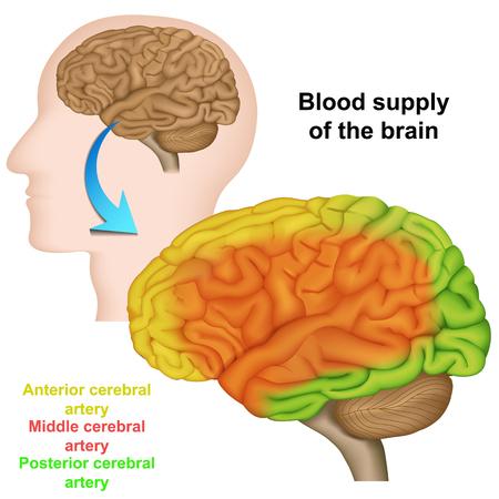 Blutversorgung des menschlichen Gehirns, medizinische Vektorillustration
