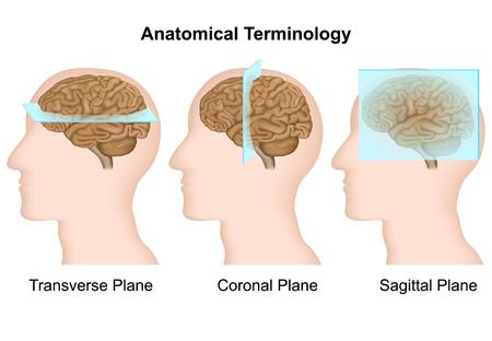 Anatomical terminology, anatomical plan medical vector illustration