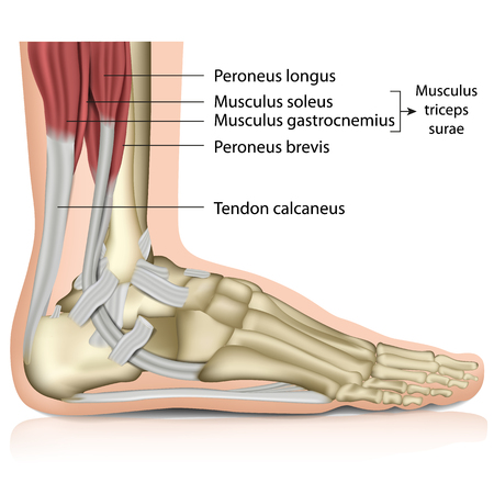Triceps surae ankle joint 3d medical vector illustration