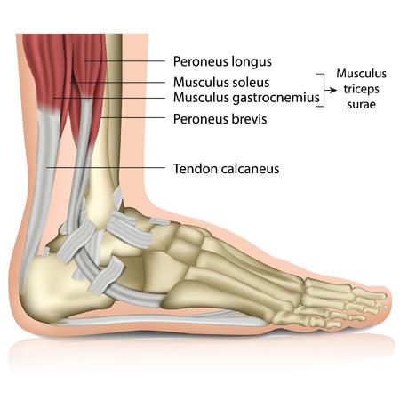 triceps surae, articulation de la cheville, 3d, médical, vecteur, illustration Vecteurs
