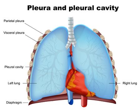 Illustrazione medica di vettore della cavità pleurica e pleurica del polmone su fondo bianco white