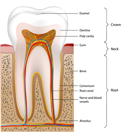 structure of the human tooth, medical vector illustration isolated on white background