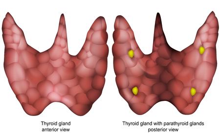 Thyroid gland 3d vector illustration isolated on white background
