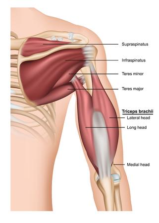 Triceps brachii 3d illustration vectorielle médicale sur fond blanc, bras humain par derrière