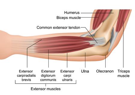 Anatomia dell'illustrazione medica di vettore dei muscoli del gomito
