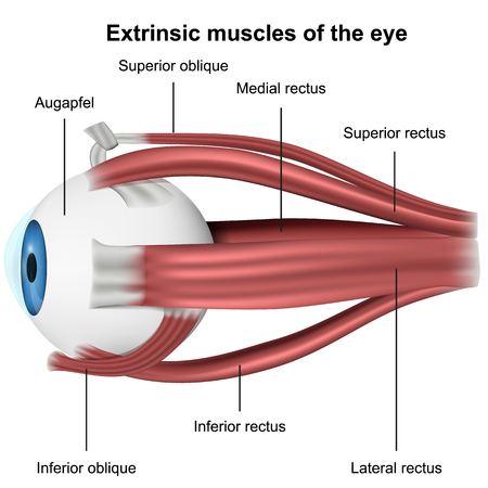 Muscles of the eye, 3d medical vector illustration on white background Ilustração